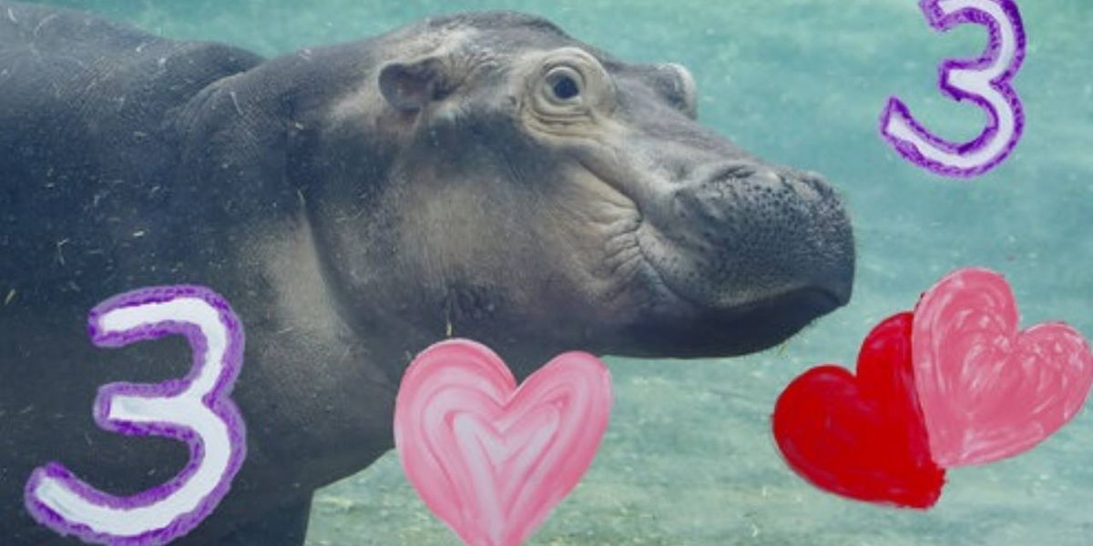Hungry hippos: Cincinnati's Fiona gets birthday basket from Timothy of San Antonio