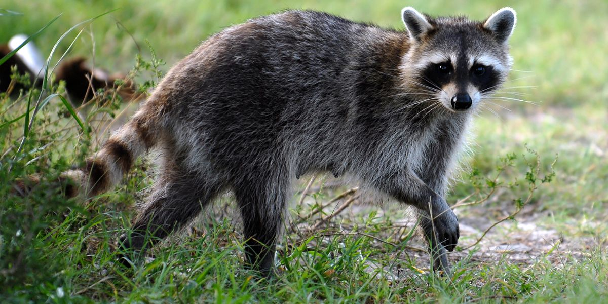 Health officials confirm rabies in a raccoon found in Scott Township