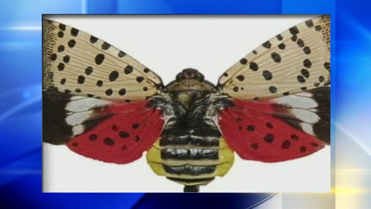Spotted lanternfly population continues to grow, damage crops