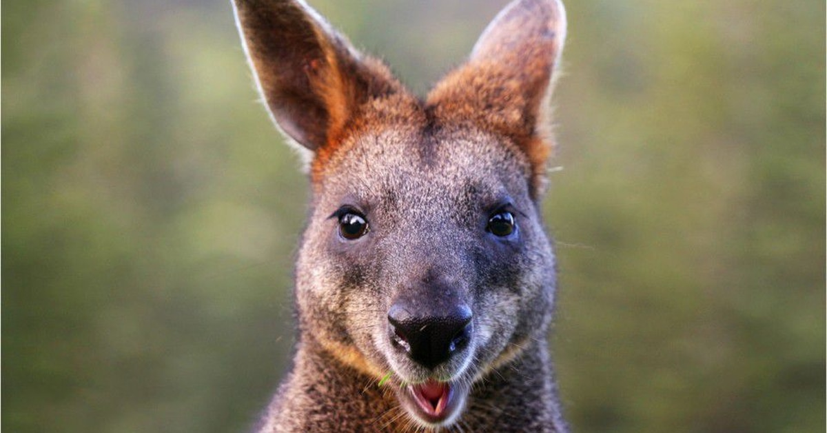 Kangaroo on the loose: Marsupial escapes in small Alabama town