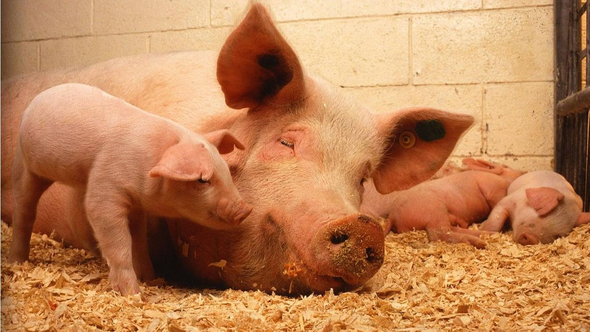 Pork Queen at Iowa State Fair steps in to help sow deliver piglet