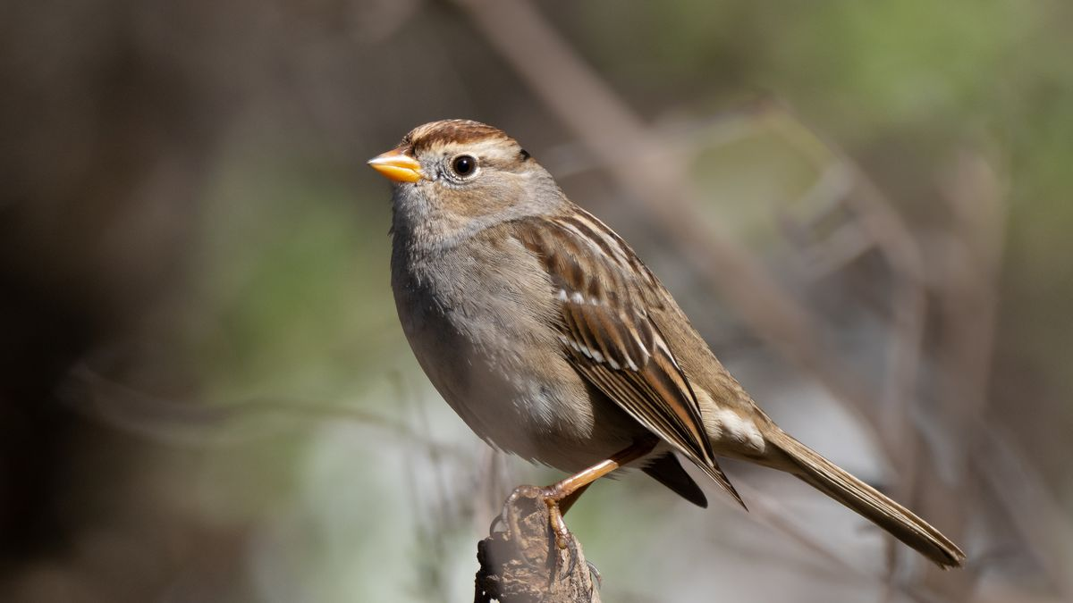 Coronavirus shutdown caused Bay Area birds to sing differently