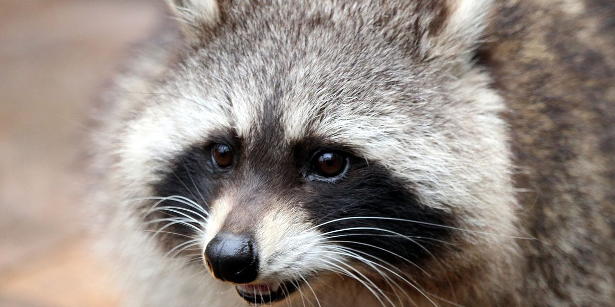 Raccoon tests positive for rabies; 12th animal in Allegheny Co. so far this year