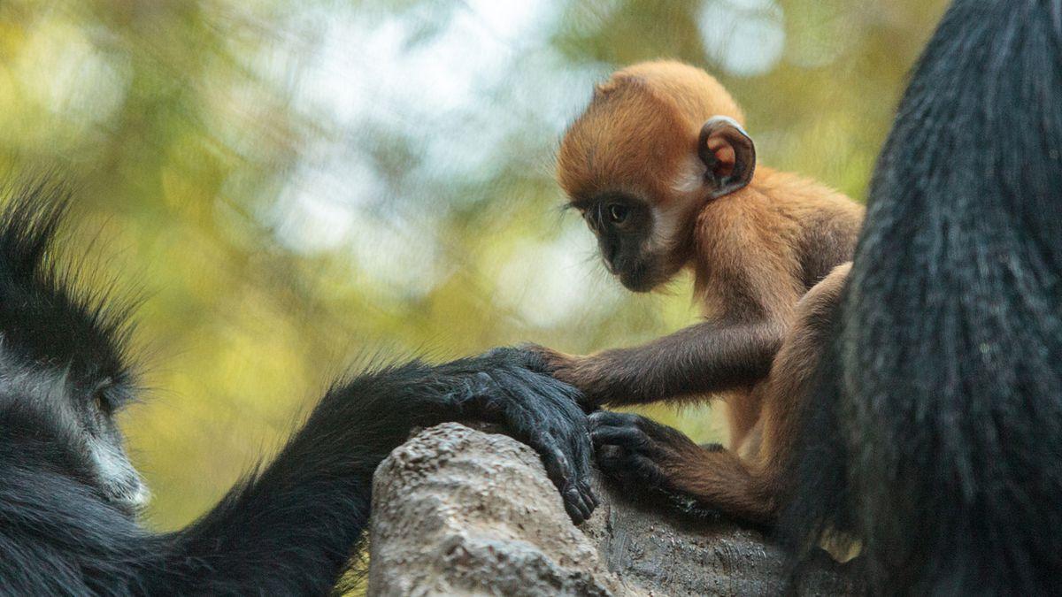 Baby François' langur, or leaf monkey, born at Philadelphia Zoo