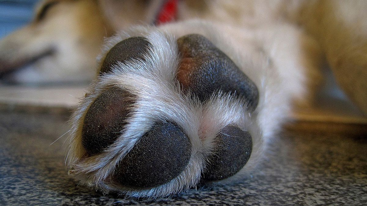 Dog's paws severely burned by hot pavement, pads burned off