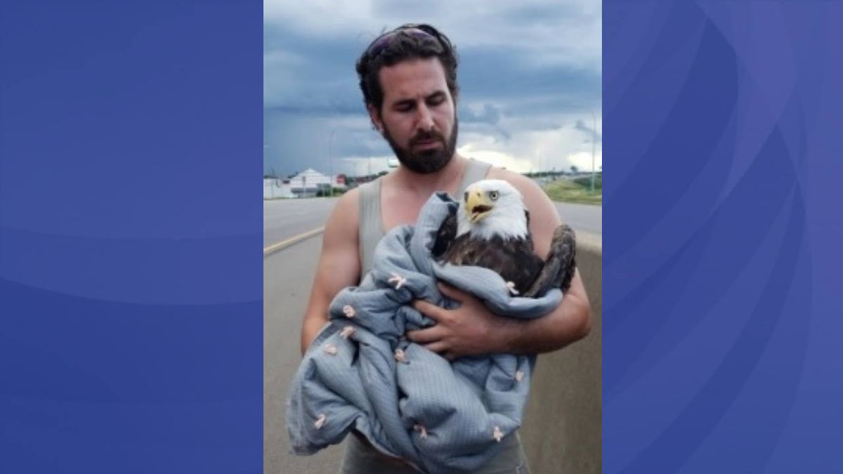 Minnesota man rescues injured bald eagle on interstate