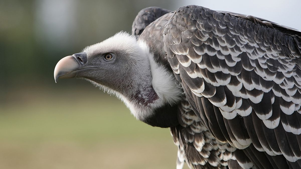 'This is the worst year': Black vultures harassing Pa. homes, causing major damage