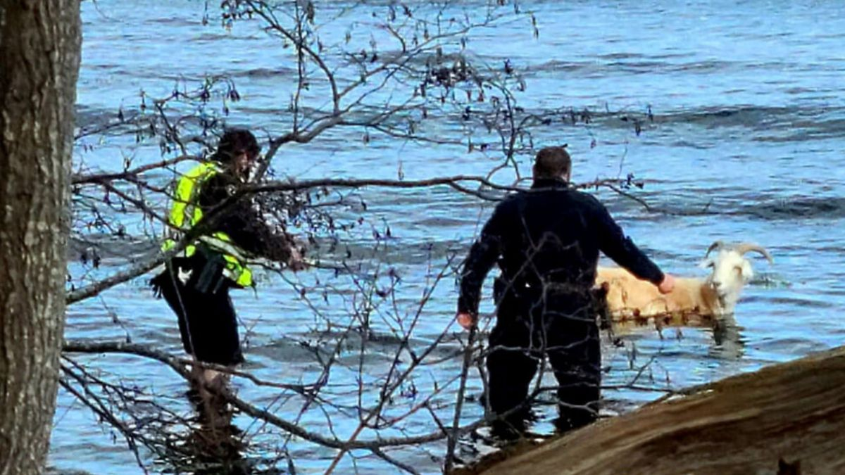 Maine woman, police rescue escaped goat that jumped into ocean
